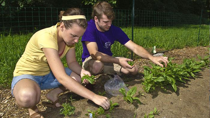 The student garden provides fresh vegetables to the Dining Hall