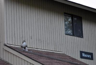 A hawk on the roof of Macrury, fall 2010. Submitted by Gabe Weintraub '12.