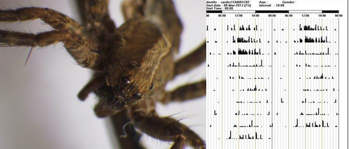 Prof. Bernie Possidente, Skidmore student, Ben Wetherbee '16, and a Saratoga High School student, Victoria Pellicia, have been studying the circadian rhythms of wolf spiders.