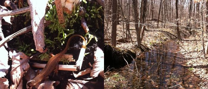 Salamander in the North Woods. North Woods Spring 2013, photos by Kim Ohnemus '14.