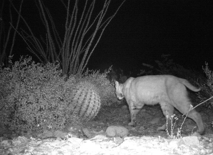 Bobcat (Lynx rufus) triggers motion sensitive camera in Professor Ness's research site in the Sonoran Desert.