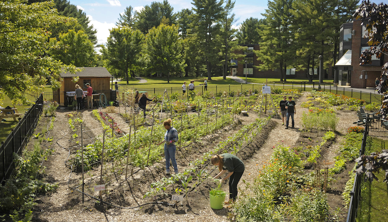Students harvest food in Skidmore Community Garden for the Murray-AikinsDining Hall