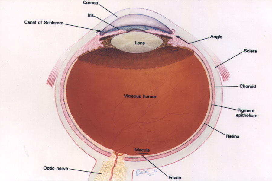 Eye retina diagram of cows auto electrical wiring diagram the wonderful world of the eye lessons tes teach rh tes com cow eye blind spot ccuart Images