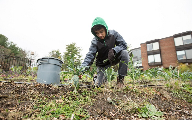 Ajani Otieno-Rudek '20, picks kale from Skidmore's Community Garden, which he manages this year.