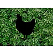 Backyard Chickens: Hipster Fad or Gateway to Sustainable Living?