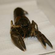 Copper crayfish sample