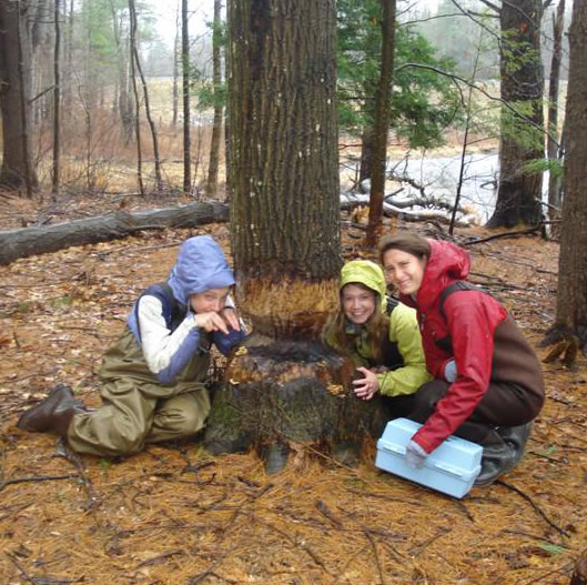 Studying a beaver-chewed tree